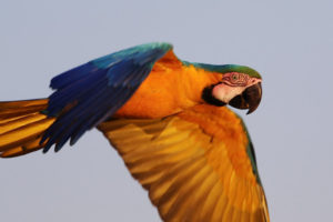 Blue-and-yellow Macaw in flight