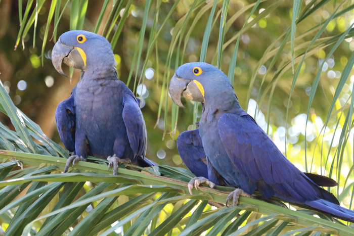 Hyacinth Macaws, the world's largest parrot, are rare in the wild because of the caged bird trade and habitat destruction.