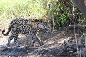 Jaguars are the third largest big cat, behind tigers and lions.